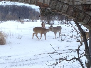deer in the front yard