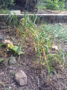 Ready to harvest- garlic