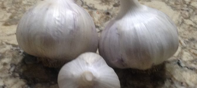 Homegrown Garlic- Easier than you think!